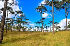 Sky and pine forests. Stock Photography