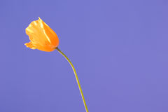Sky poppy 2 Royalty Free Stock Image