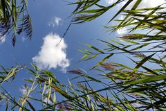 Sky through Reeds Royalty Free Stock Images