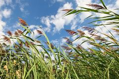 Sky through Reeds Stock Photo