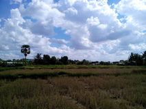Sky and rice fields Royalty Free Stock Photos