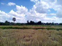 Sky and rice fields Stock Photo