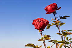 SKY & Rose. Red rose with BLUE SKY background Royalty Free Stock Photography