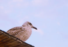 Sky sea gull bird Stock Photo