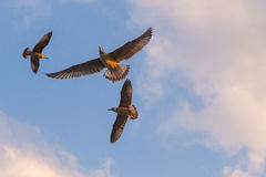 Sky sea gull Royalty Free Stock Images