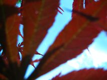sky-seen-through-rusty-leaves Royalty Free Stock Photo