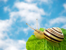 Sky and snail. Sky background  and snail on leaf Stock Images