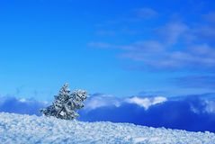 Sky, snow, and pines. Small steady pines covered by snow in beautiful winter landscape Stock Photo