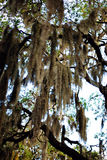 Sky with Spanish Moss. Royalty Free Stock Photography