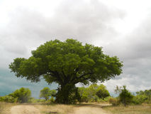 Sky of storm and tree , Kruger, South Africa Stock Photos