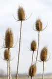 Sky and teasel Stock Image