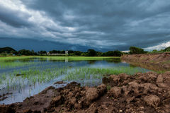 Sky terrible clouds clumping rain began to fall late in the rice Royalty Free Stock Photos