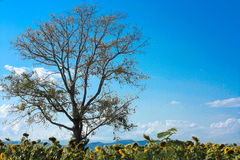 Sky and tree. Big tree grow among bright sky Stock Image
