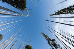 Sky and tree tops. Looking up at the sky and tree tops royalty free stock photography