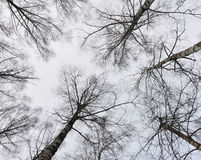 The sky with trees. Trees grow against the sky Royalty Free Stock Photo