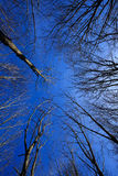 Sky view through bare-branched trees. Looking up to the blue sky on a cold day through beeches wich have lost their leaves Stock Photography