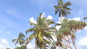 Sky view of palm trees in the light wind and clouds passing by. stock video