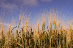 Sky, Wheat, Crop, Food Grain stock photography