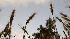Sky through Wheat Field Royalty Free Stock Photos