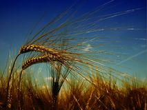 Sky, Wheat, Food Grain, Grass Family royalty free stock photography
