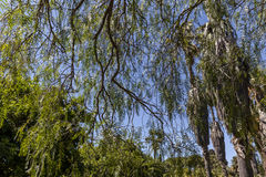 Sky through willowy branches Stock Images