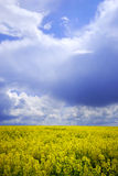Sky and yellow field. Field with yellow flowers and cloudy sky Royalty Free Stock Photo