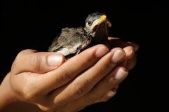 Skydda fågelliv, fågeln ögon somkontakten var räddningen i kvinnahand på svart bakgrund, isolerad horisontalfärgbild arkivbilder