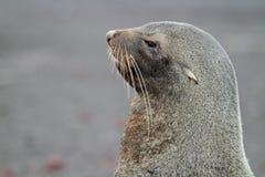 skyddsremsa för antarcticAntarktispäls Arkivfoton