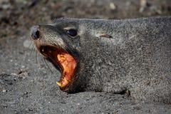 skyddsremsa för antarcticAntarktispäls som visar tänder Royaltyfri Fotografi
