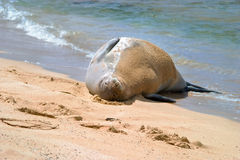 skyddsremsa för hawaiansk monk för strand sandig royaltyfri foto