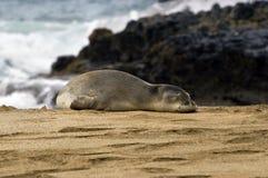skyddsremsa för strandkauai monk arkivfoton