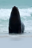 Skyddsremsa i havsvågorna Skyddsremsan från Falklandsöarna med öppet tystar ned och stora mörka ögon, mörker - det blåa havet i b Arkivfoton