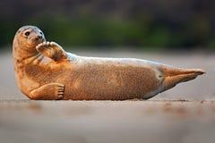 Skyddsremsa på den vita stranden Djur på stranden Atlantiska Grey Seal, Halichoerus grypus, detaljstående, på sandstranden Gullig Arkivbild