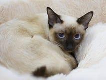 Skyddsremsa-punkt för Cat Mekong Bobtail Short hårfärg Royaltyfri Bild