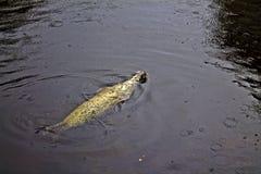 Skyddsremsa som tillbaka simmar i regnet Arkivbild