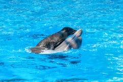 Skyddsremsan rider på en delfin i blått vatten royaltyfria bilder