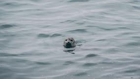 Skyddsremsasimning i den gemensamma skyddsremsan för hav Huvud ut ur vatten Fotografering för Bildbyråer