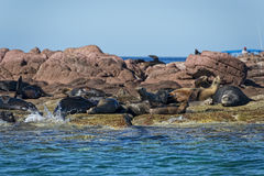 Skyddsremsasjölejon i Baja California Royaltyfria Bilder