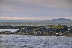 Skyddsremsor på stenarna i havet iceland arkivfoton