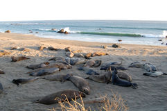 Skyddsremsor som är slö på stranden, Kalifornien, USA Royaltyfria Foton