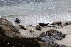 Skyddsremsor som Sunning på Sandy Beach Monterey California Fotografering för Bildbyråer