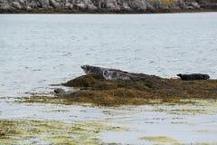 Skyddsremsor som vilar på ön av alger, fjordar, Island Royaltyfri Fotografi