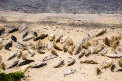 Skyddsremsor som vilar på Fitzgerald Marine Reserve, Kalifornien arkivbilder
