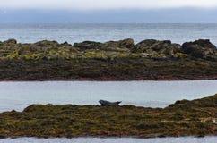 Skyddsremsor som vilar på a, vaggar på kusten av fjorden Royaltyfria Bilder