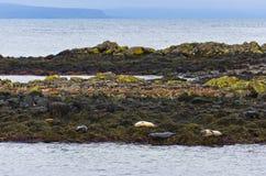 Skyddsremsor som vilar på a, vaggar på kusten av fjorden Arkivfoton