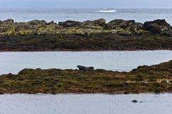 Skyddsremsor som vilar på a, vaggar på kusten av fjorden Royaltyfri Fotografi