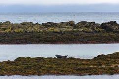 Skyddsremsor som vilar på a, vaggar på kusten av fjorden Royaltyfria Foton