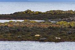 Skyddsremsor som vilar på a, vaggar på kusten av fjorden Royaltyfri Bild