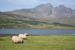 skye овец острова Стоковая Фотография RF
