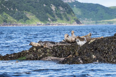 Skye island seals Stock Photo